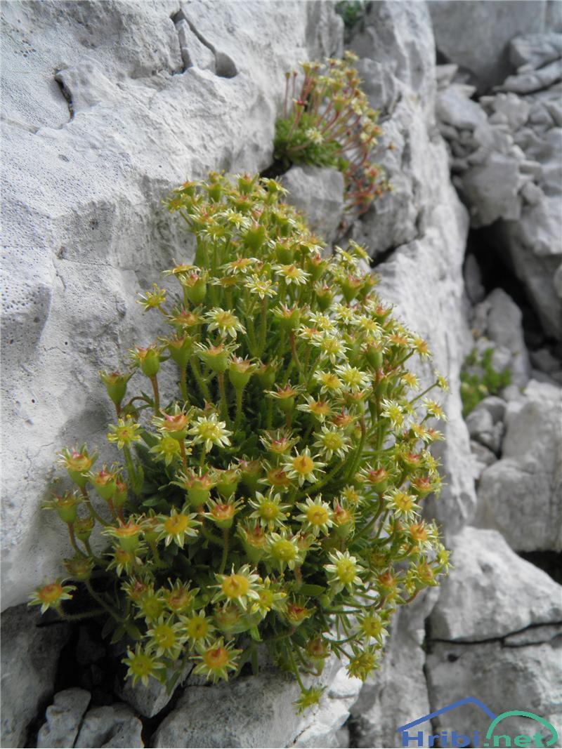 Golostebelni kamnokreč (Saxifraga aphylla) - PictureGolostebelni kamnokreč, foto Otiv.