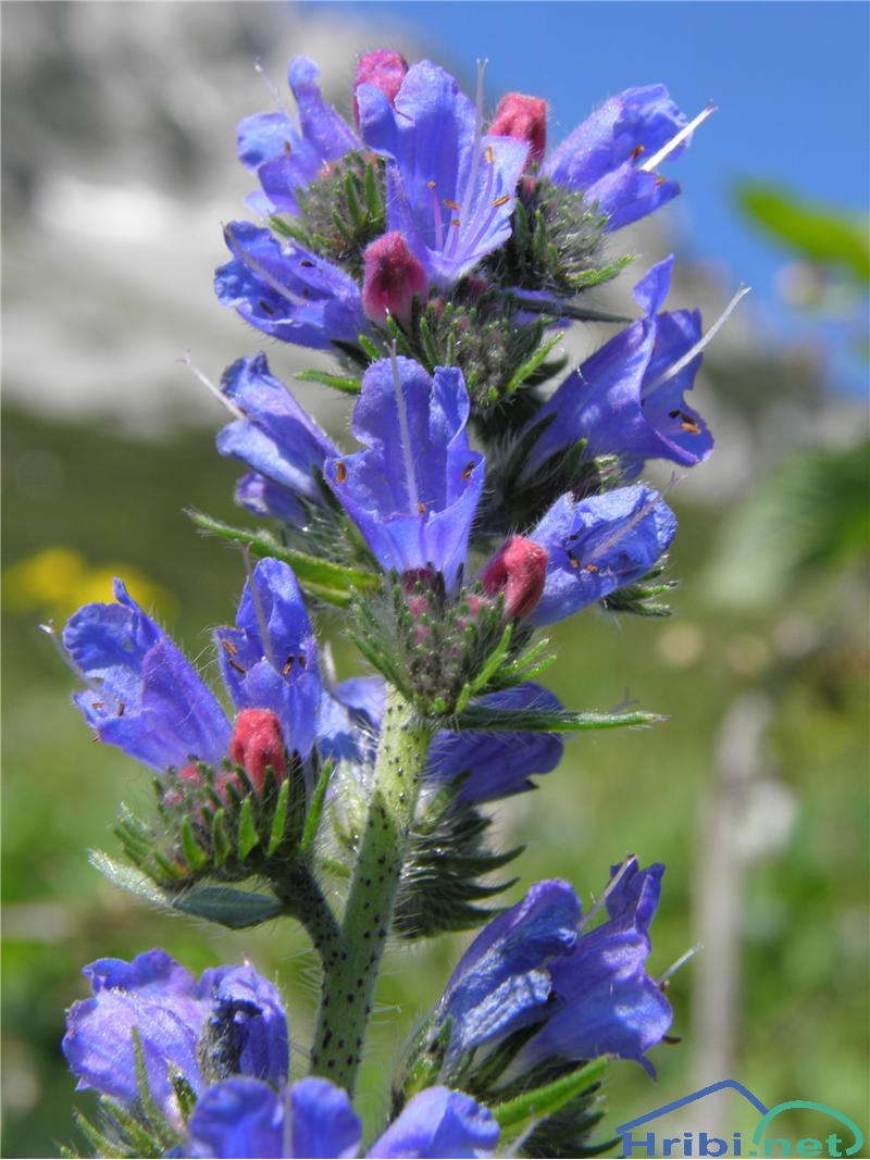 Navadni gadovec (Echium vulgare) - PictureNavadni gadovec (Echium vulgare), foto Otiv.