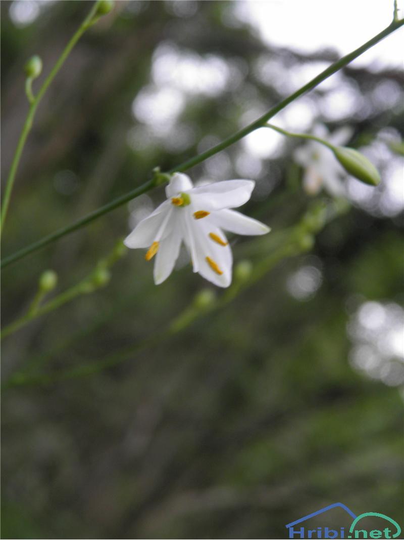 Navadni kosmuljek (Anthericum ramosum) - PictureNavadni kosmuljek (Anthericum ramosum), foto Otiv.