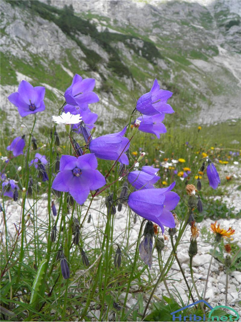 Scheuchzerjeva zvončica (Campanula scheuchzeri) - PictureScheuchzerjeva zvončica (Campanula scheuchzeri), foto Otiv.