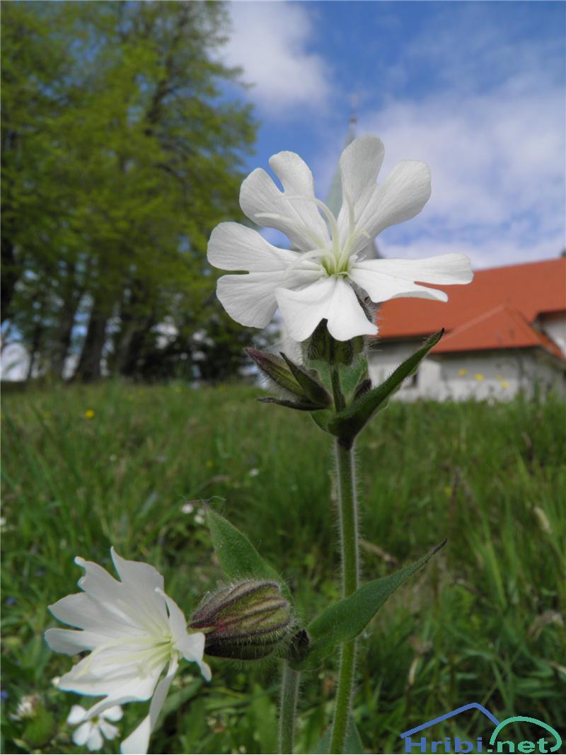 Beli slizek (Silene latifolia) - SlikaBeli slizek (Silene latifolia), foto Otiv.