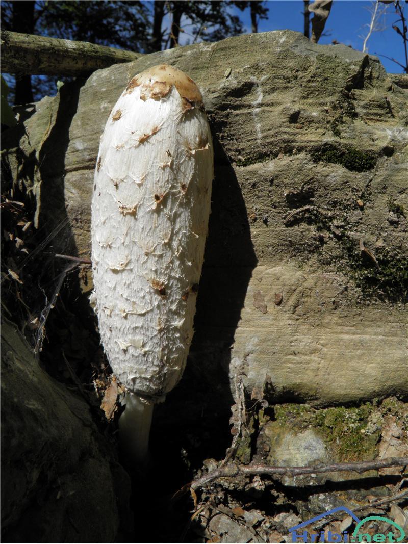Velika tintnica (Coprinus comatus) - PictureVelika tintnica (Coprinus comatus), foto Otiv.