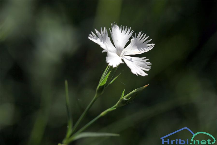 Montpellierski klinček (Dianthus monspessulanus) - PictureMontpellierski klinček (Dianthus monspessulanus), foto B.C.