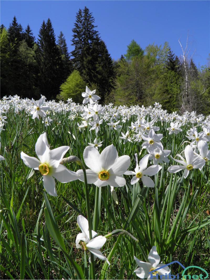 Gorski narcis (Narcissus poeticus radiiflorus) - PictureGorski narcis (Narcissus poeticus radiiflorus), foto Otiv.