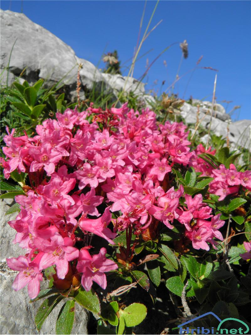 Dlakavi sleč (Rhododendron hirsutum) - PictureDlakavi sleč (Rhododendron hirsutum), foto Otiv.