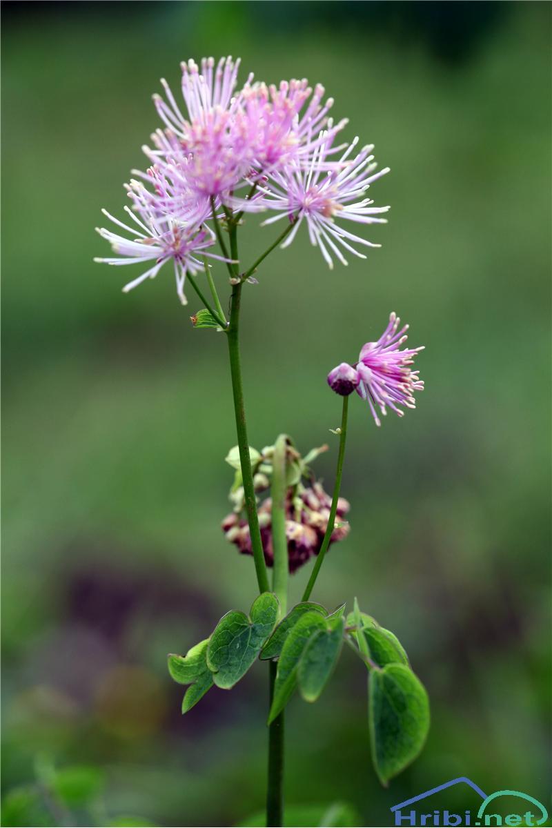 Orličnolistni talin ali vetrovka (Thalictrum aquilegiifolium) - SlikaOrličnolistni talin ali vetrovka (Thalictrum aquilegiifolium), foto B.C.