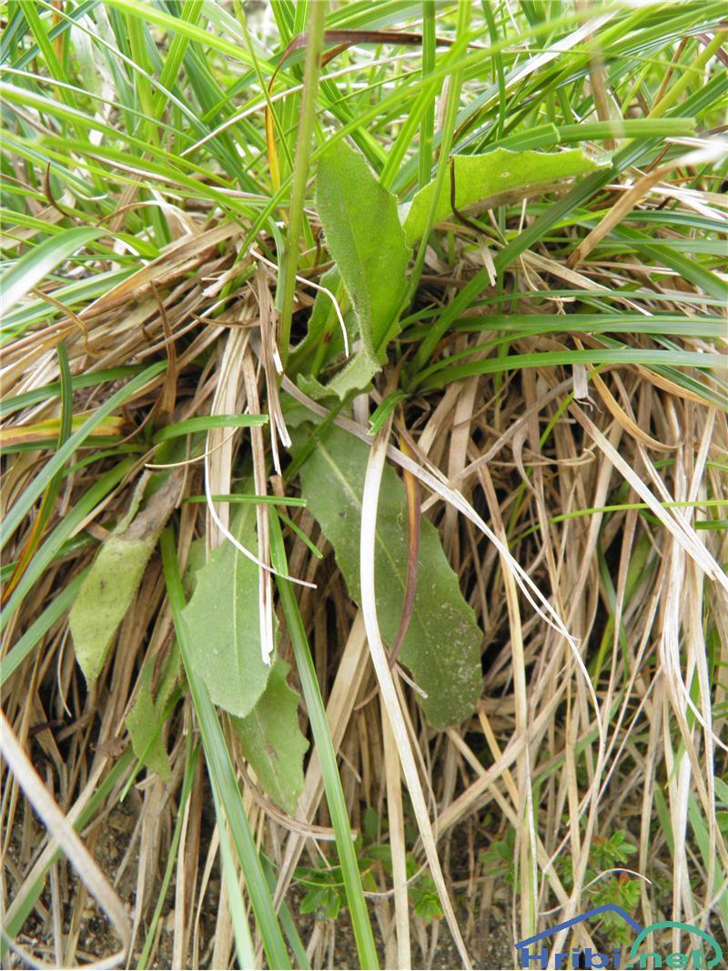 Navadni jajčar ali navadni otavčič (Leontodon hispidus) - SlikaNavadni jajčar (Leontodon hispidus), foto Otiv.