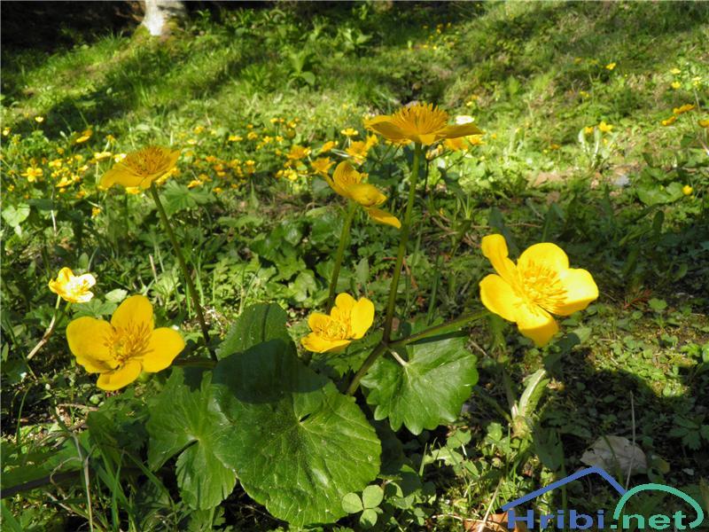 Navadna kalužnica (Caltha palustris) - PictureNavadna kalužnica (Caltha palustris), foto Otiv.