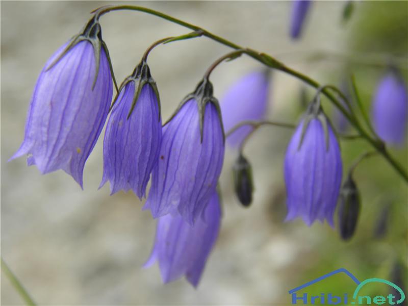 Rušnata zvončica (Campanula cespitosa) - PictureRušnata zvončica (Campanula cespitosa), foto Otiv.