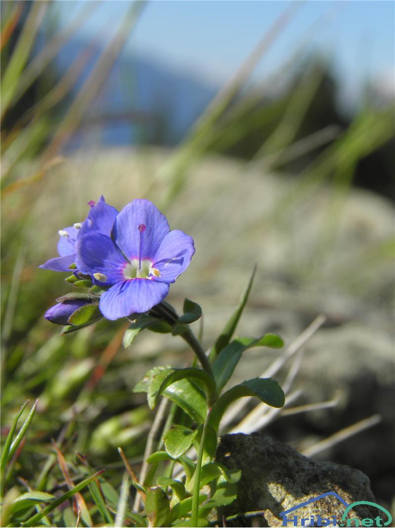 Skalni jetičnik (Veronica fruticans) - PictureSkalni jetičnik (Veronica fruticans), foto Otiv.