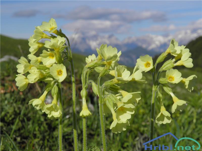 Visoki jeglič (Primula elatior) - SlikaVisoki jeglič (Primula elatior), foto Otiv.