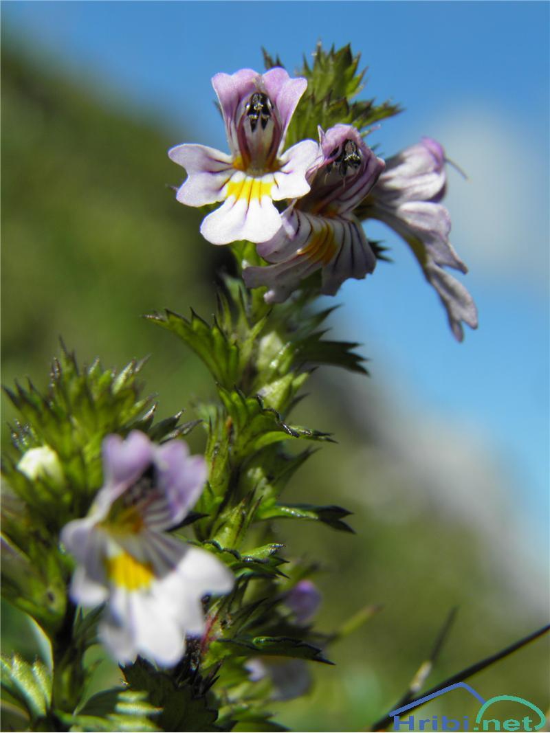 Toga smetlika (Euphrasia stricta) - SlikaToga smetlika (Euphrasia stricta), foto Otiv.