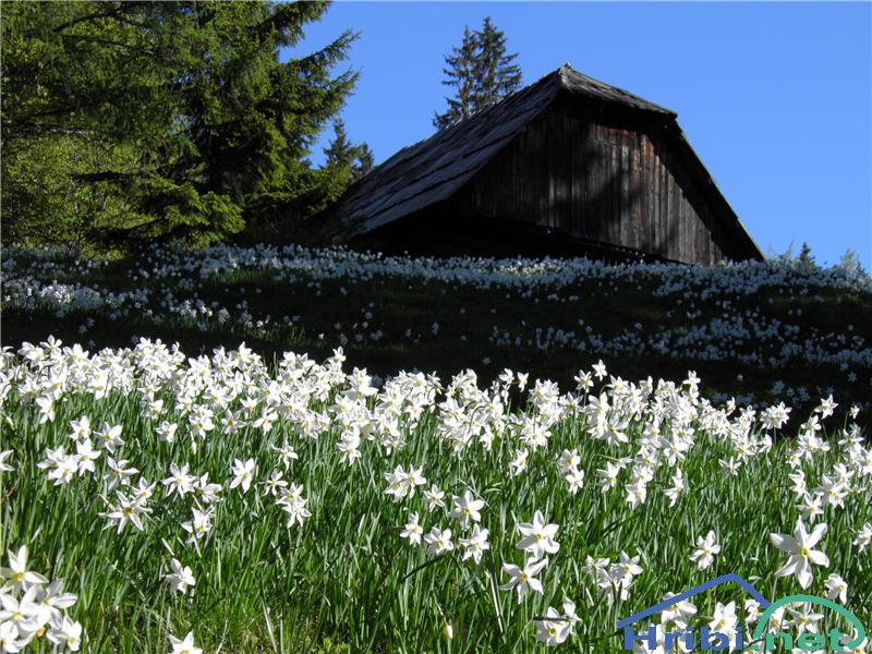Gorski narcis (Narcissus poeticus radiiflorus) - SlikaGorski narcis (Narcissus poeticus radiiflorus), foto Otiv.