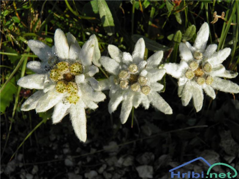 Planika ali očnica (Leontopodium alpinum) - PicturePlanika (Leontopodium alpinum), foto Otiv.