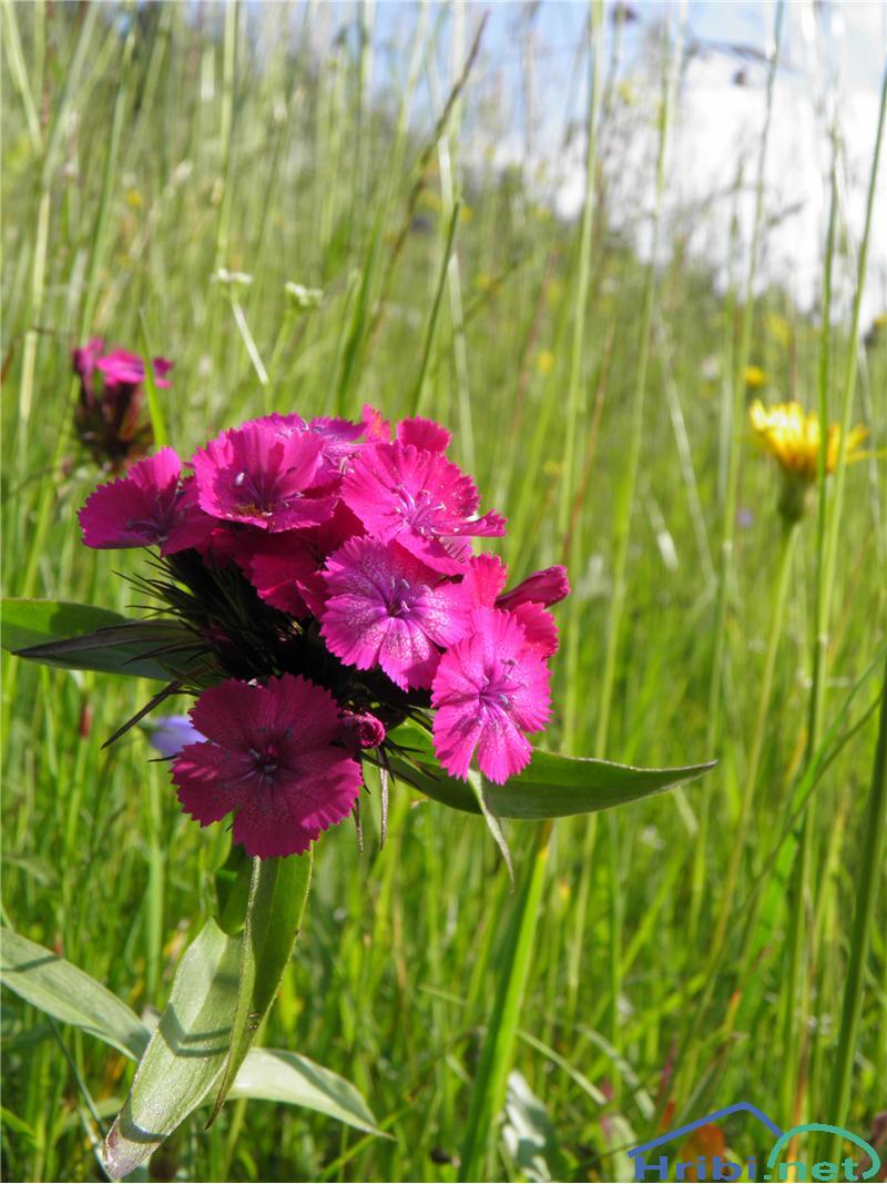 Brkati klinček (Dianthus barbatus) - PictureBrkati klinček (Dianthus barbatus), foto Otiv.