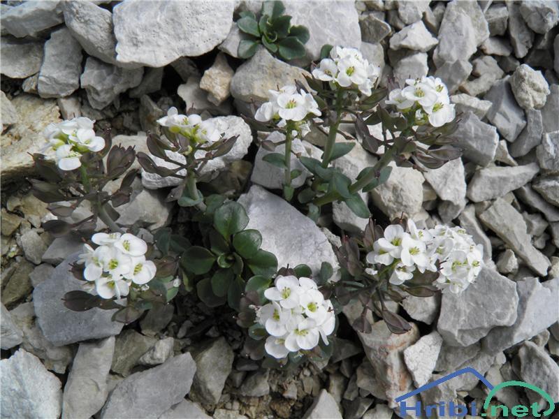 Scopolijev repnjak (Arabis scopoliana) - SlikaScopolijev repnjak (Arabis scopoliana), foto Otiv.