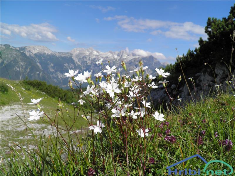 Planinski slanozor (Heliosperna alpestre) - PicturePlaninski slanozor (Heliosperna alpestre), foto Otiv.