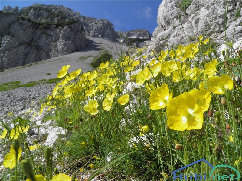 Kernerjev mak (Papaver alpinum kerneri) - PictureKernerjev mak (Papaver alpinum kerneri), foto Otiv.