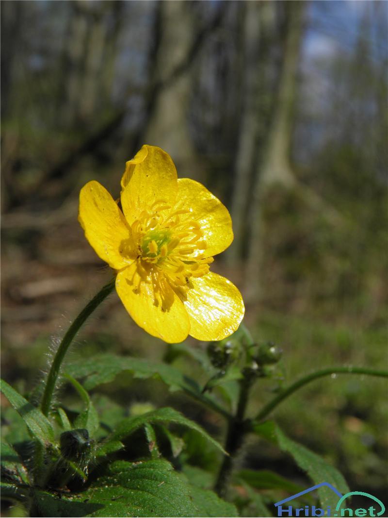 Kosmata zlatica (Ranunculus lanuginosus) - SlikaKosmata zlatica (Ranunculus lanuginosus), foto Otiv.