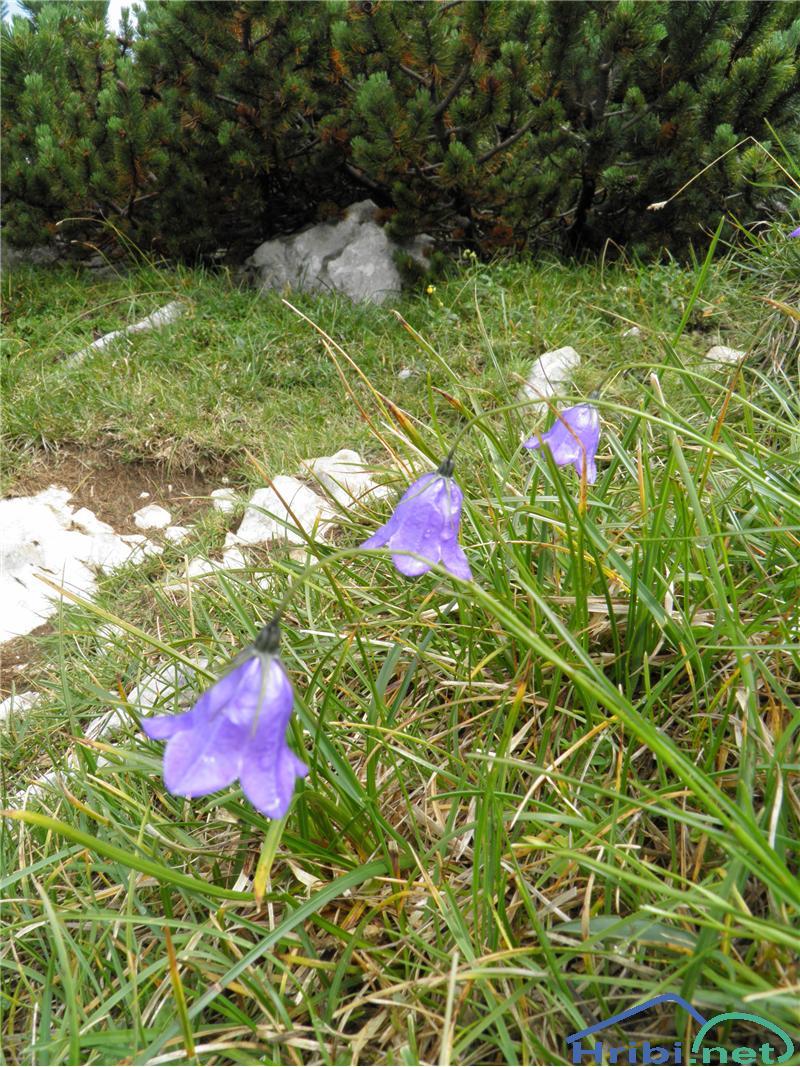 Scheuchzerjeva zvončica (Campanula scheuchzeri) - SlikaScheuchzerjeva zvončica (Campanula scheuchzeri), foto Otiv.