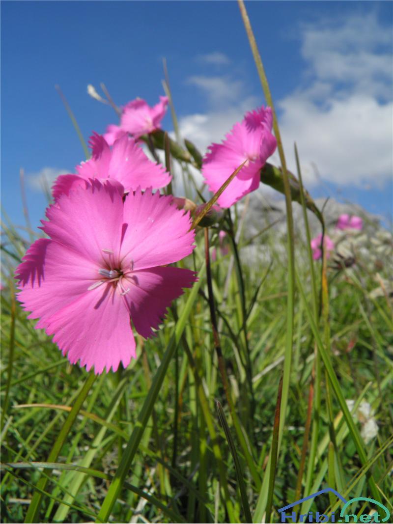Divji klinček (Dianthus sylvestris) - PictureDivji klinček (Dianthus sylvestris), foto Otiv.