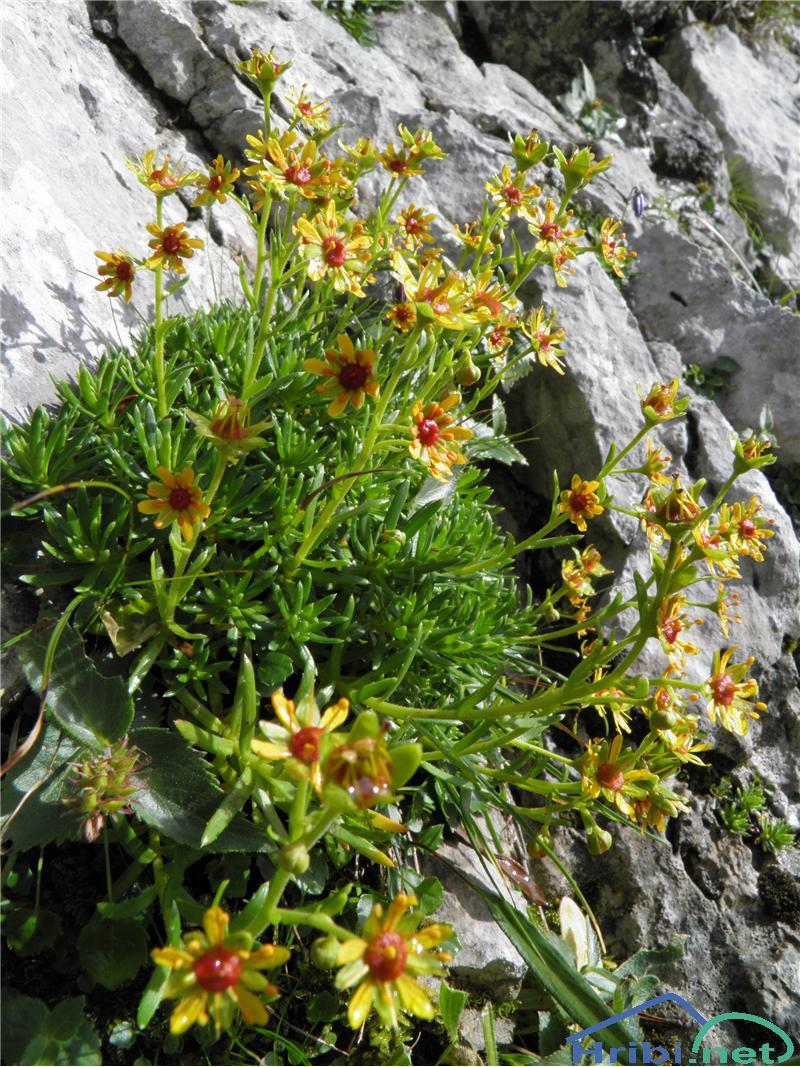 Vednozeleni kamnokreč (Saxifraga aizoides) - PictureVednozeleni kamnokreč (Saxifraga aizoides), foto Otiv.