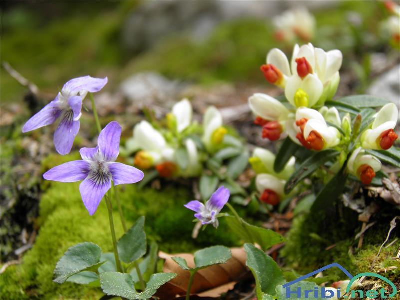 Srhkodlakava vijolica (Viola hirta) - PictureSrhkodlakava vijolica (Viola hirta), foto Otiv.