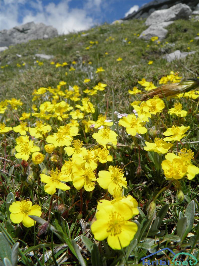 Planinski popon ali planinsko sončece (Helianthemum alpestre) - PicturePlaninski popon ali planinsko sončece (Helianthemum alpestre), foto Otiv.