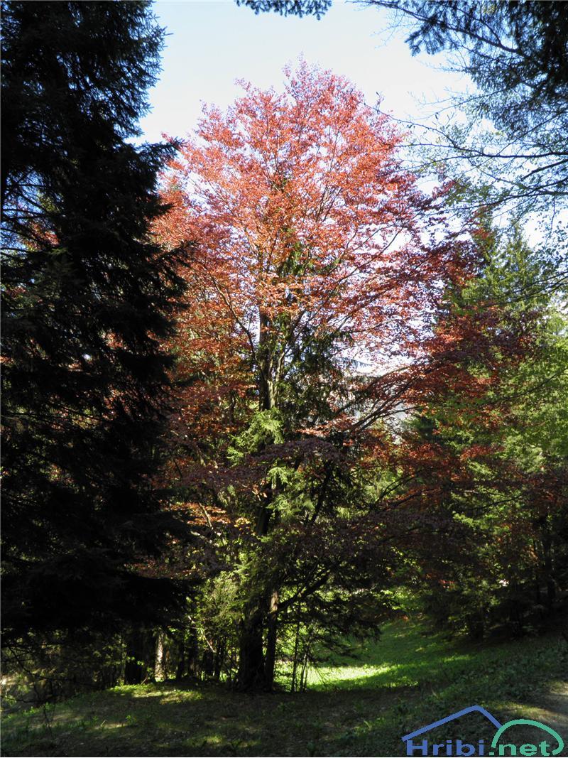 Rdeča bukev (fagus sylivatica f. purpurea) - SlikaRdeča bukev (fagus sylivatica f. purpurea), foto Otiv.