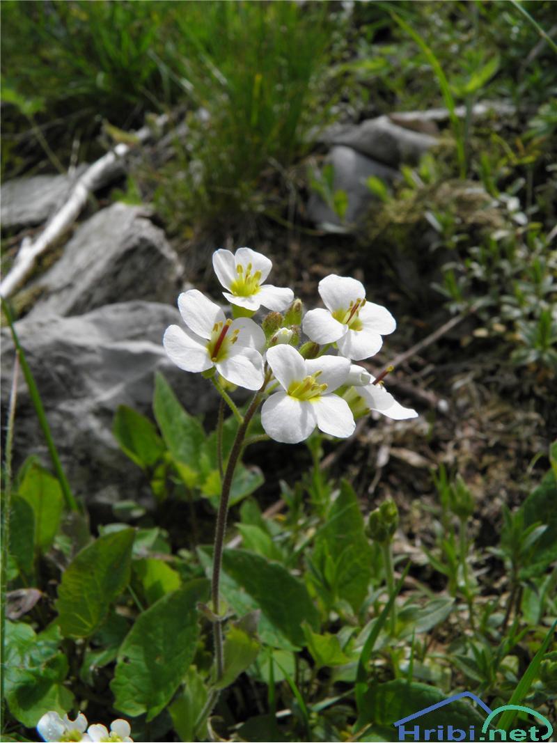 Alpski repnjak (Arabis alpina) - PictureAlpski repnjak (Arabis alpina), foto Otiv.
