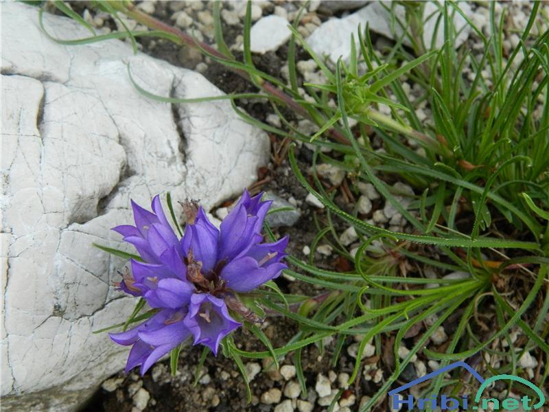 Travnolistna vrčica (Edraianthus Graminifolius) - SlikaTravnolistna vrčica (Edraianthus Graminifolius), foto Apolonija.