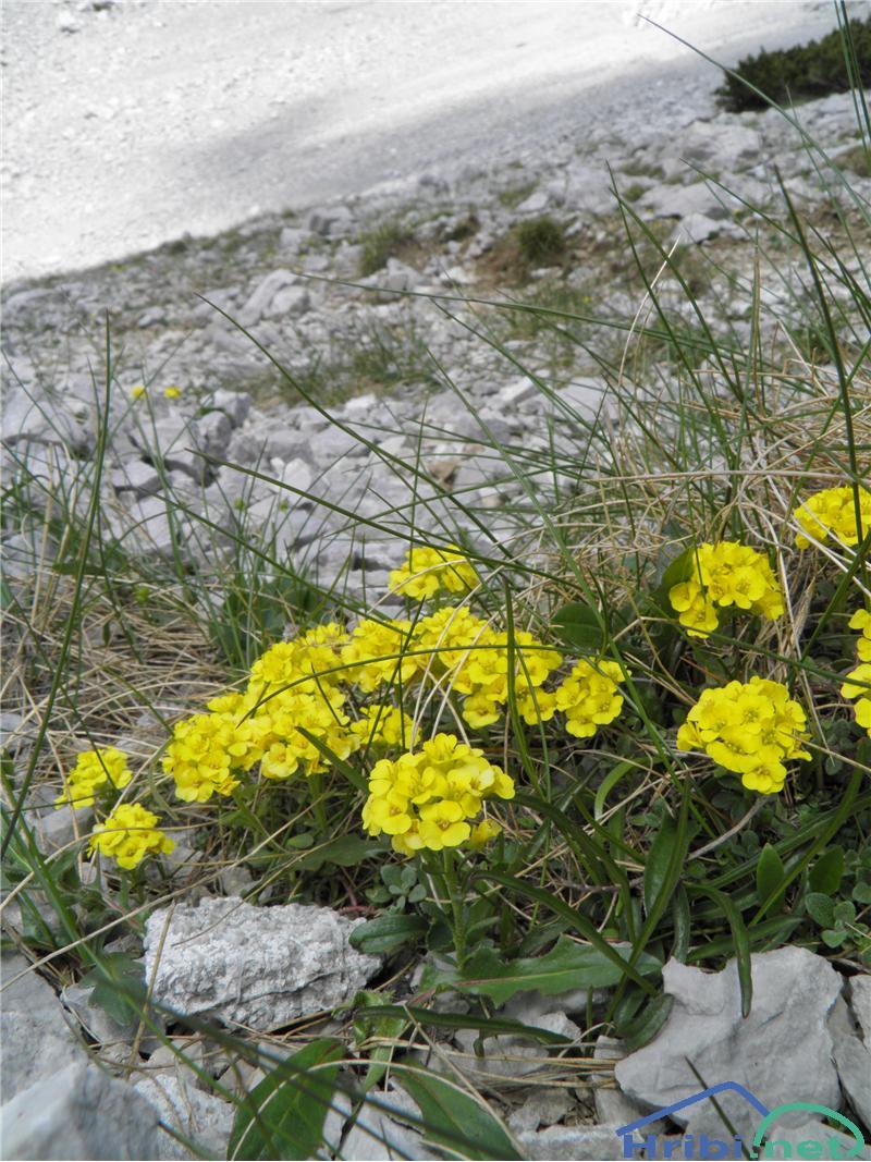 Obirski grobeljnik (Alyssum ovirense) - PictureObirski grobeljnik (Alyssum ovirense), foto Otiv.