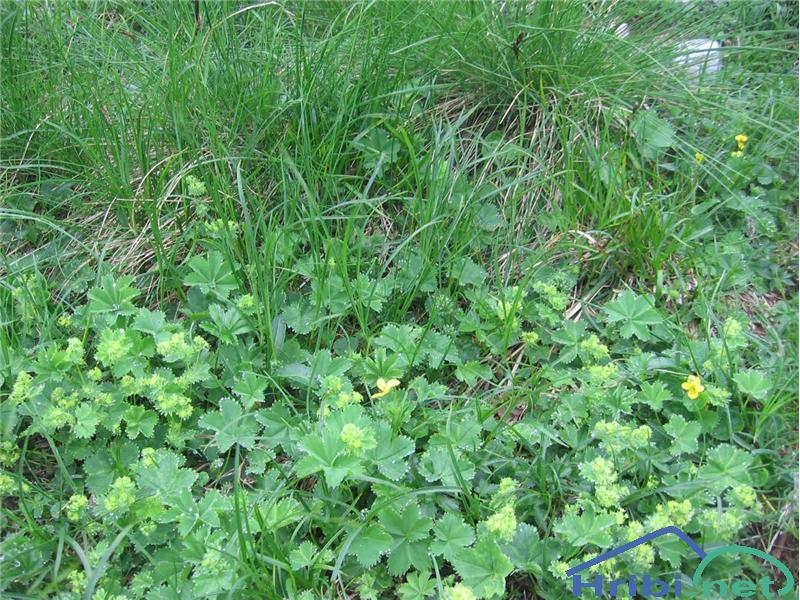 Navadna ali ostrokrpa plahtica (Alchemilla vulgaris) - PictureNavadna ali ostrokrpa plahtica (Alchemilla vulgaris), foto Velkavrh.