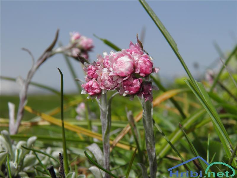 Navadna majnica (Antennaria dioica) - PictureNavadna majnica (Antennaria dioica), foto Otiv.