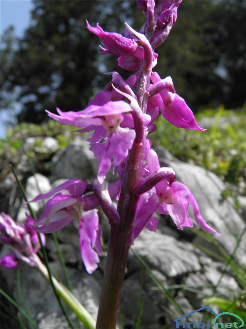 Stasita kukavica (Orchis mascula) - SlikaStasita kukavica (Orchis mascula), foto Otiv.