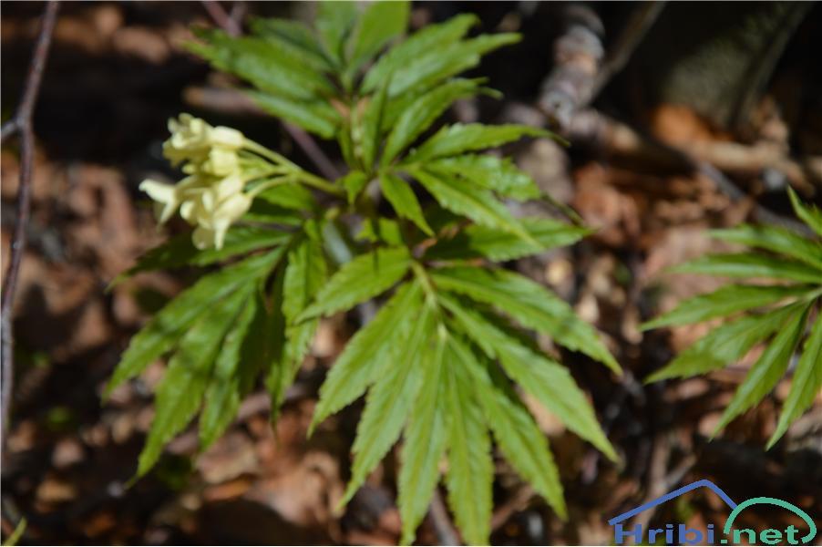 Mnogolistna konopnica (Cardamine kitaibelii) - SlikaMnogolistna konopnica (Cardamine kitaibelii), foto Velkavrh.