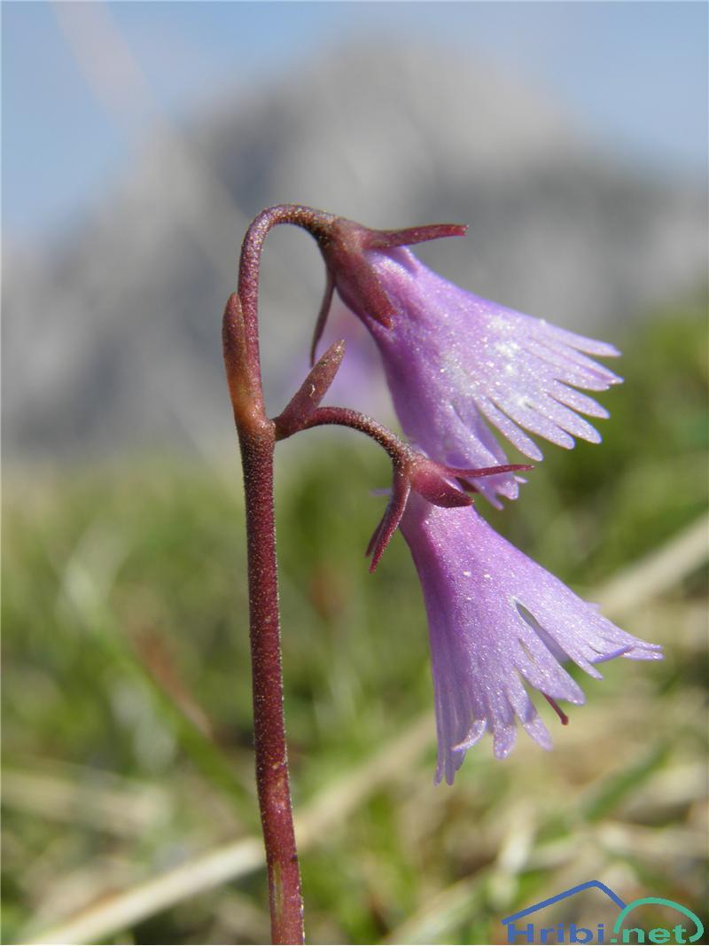 Navadni alpski zvonček (Soldanella alpina) - SlikaNavadni alpski zvonček (Soldanella alpina), foto Otiv.