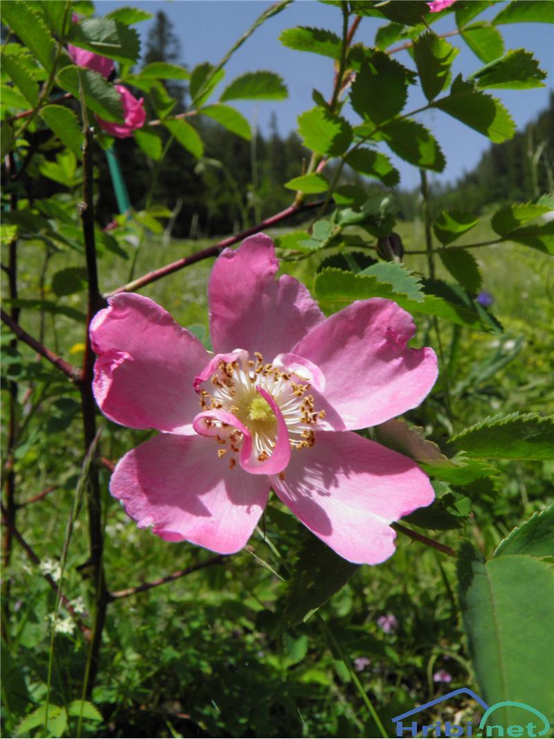 Kimastoplodni šipek (Rosa pendulina) - PictureKimastoplodni šipek (Rosa pendulina), foto Otiv.