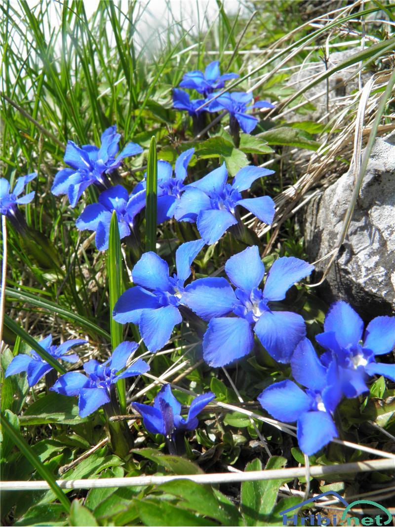 Spomladanski svišč (Gentiana verna) - SlikaSpomladanski svišč (Gentiana verna), foto Otiv.