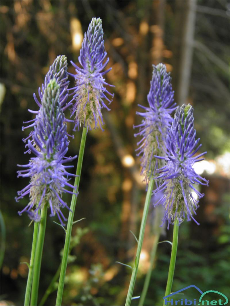 Jajčasti repuš (Phyteuma ovatum) - PictureJajčasti repuš (Phyteuma ovatum), foto Otiv.