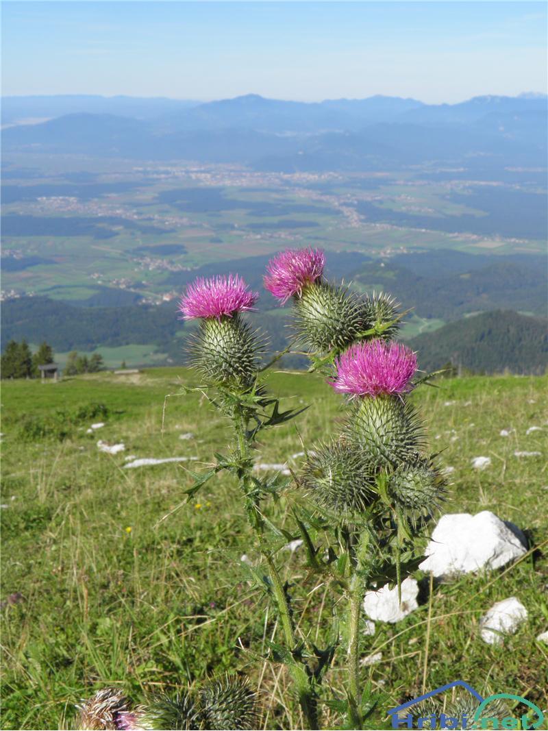 Navadni osat (Cirsium vulgare) - PictureNavadni osat (Cirsium vulgare), foto Otiv.
