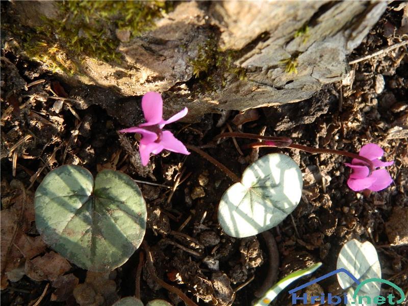 Spomladanska ciklama (Cyclamen coum) - PictureSpomladanska ciklama (Cyclamen coum), foto Apolonija.