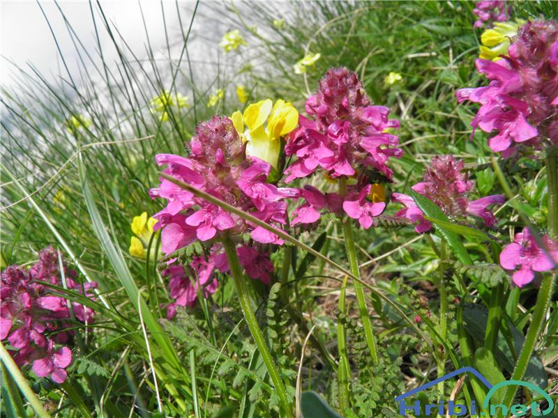 Vretenčasti ušivec (Pedicularis verticillata) - PictureVretenčasti ušivec (Pedicularis verticillata), foto Otiv.