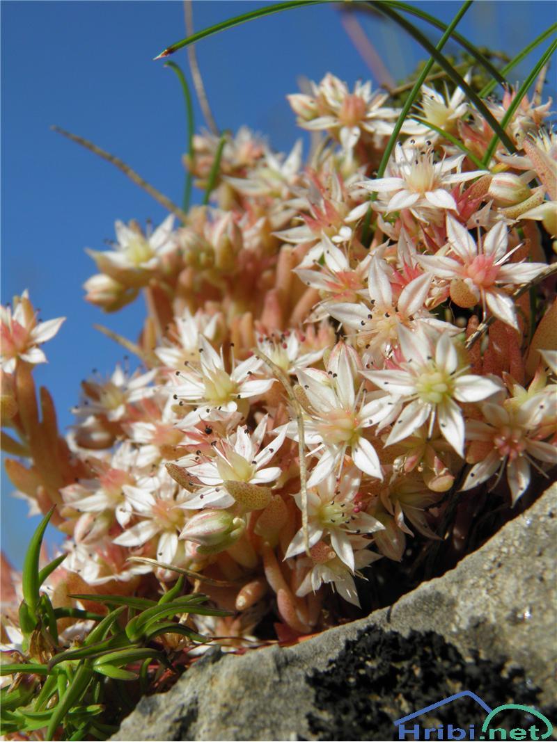 Španska homulica (Sedum hispanicum) - PictureŠpanska homulica (Sedum hispanicum), foto Otiv.