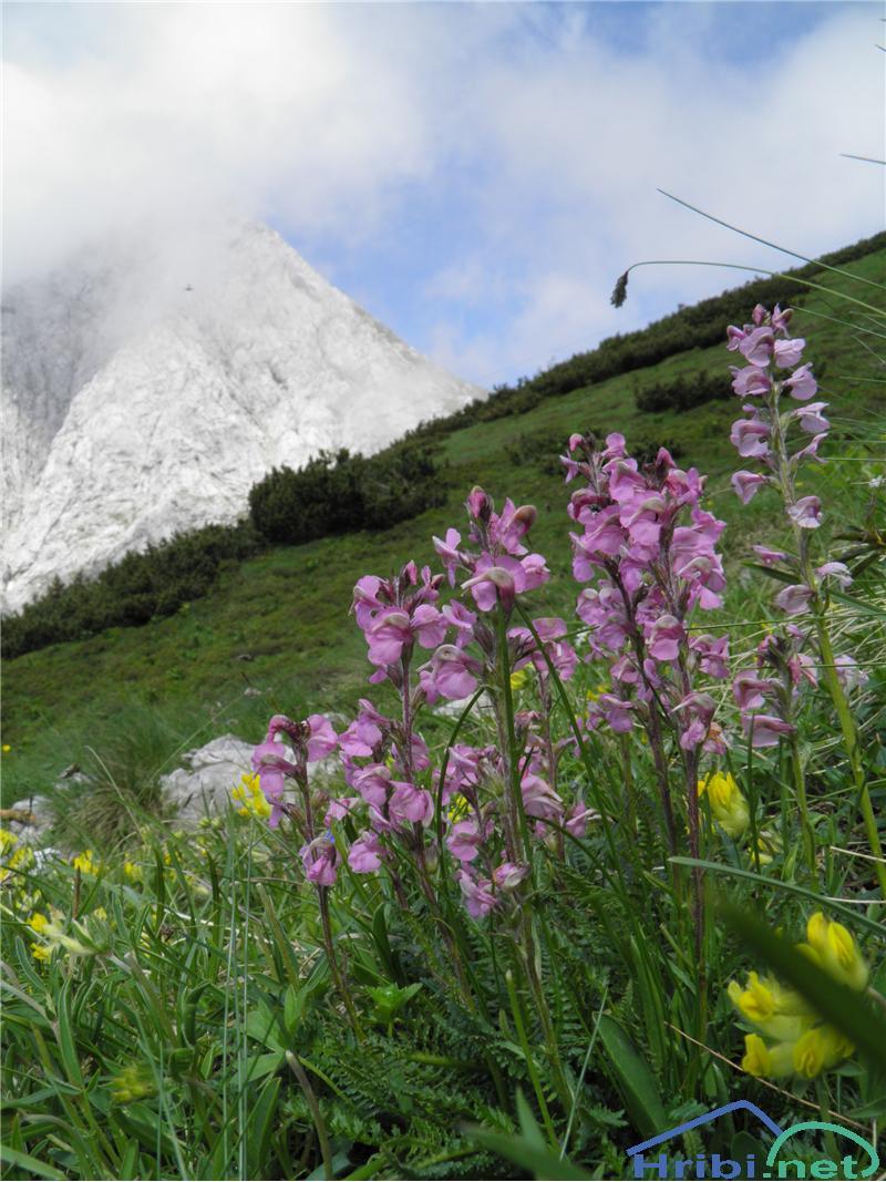 Klasasti ušivec (Pedicularis rostratospicata) - SlikaKlasasti ušivec (Pedicularis rostratospicata), foto Otiv.