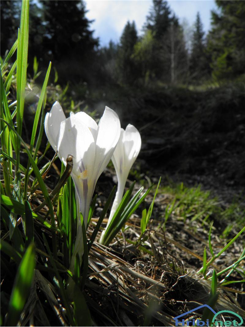 Beli žafran ali nunka (Crocus vernus albiflorus) - SlikaBeli žafran (Crocus vernus albiflorus), foto Otiv.