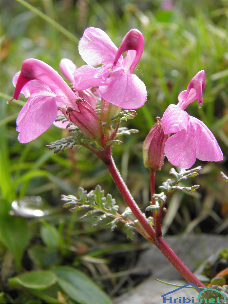 Glavičasti ušivec (Pedicularis rostratocapitata) - PictureGlavičasti ušivec (Pedicularis rostratocapitata), foto Otiv.