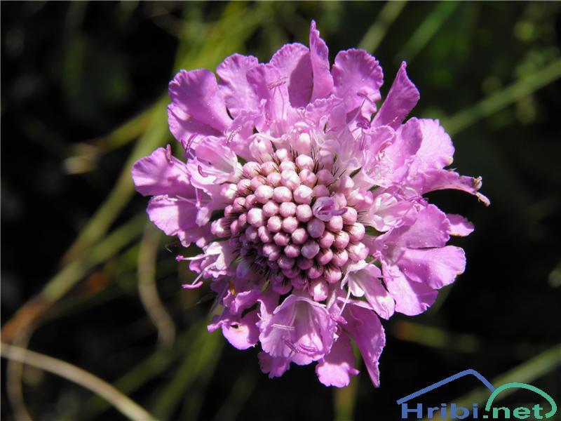 Navadni grintavec (Scabiosa columbaria) - SlikaNavadni grintavec (Scabiosa columbaria), foto Otiv.