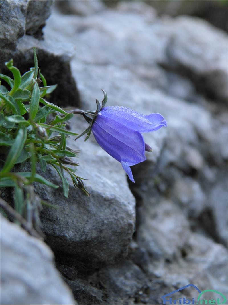 Trebušasta zvončica (Campanula cochleariifolia) - SlikaTrebušasta zvončica (Campanula cochleariifolia), foto Otiv.