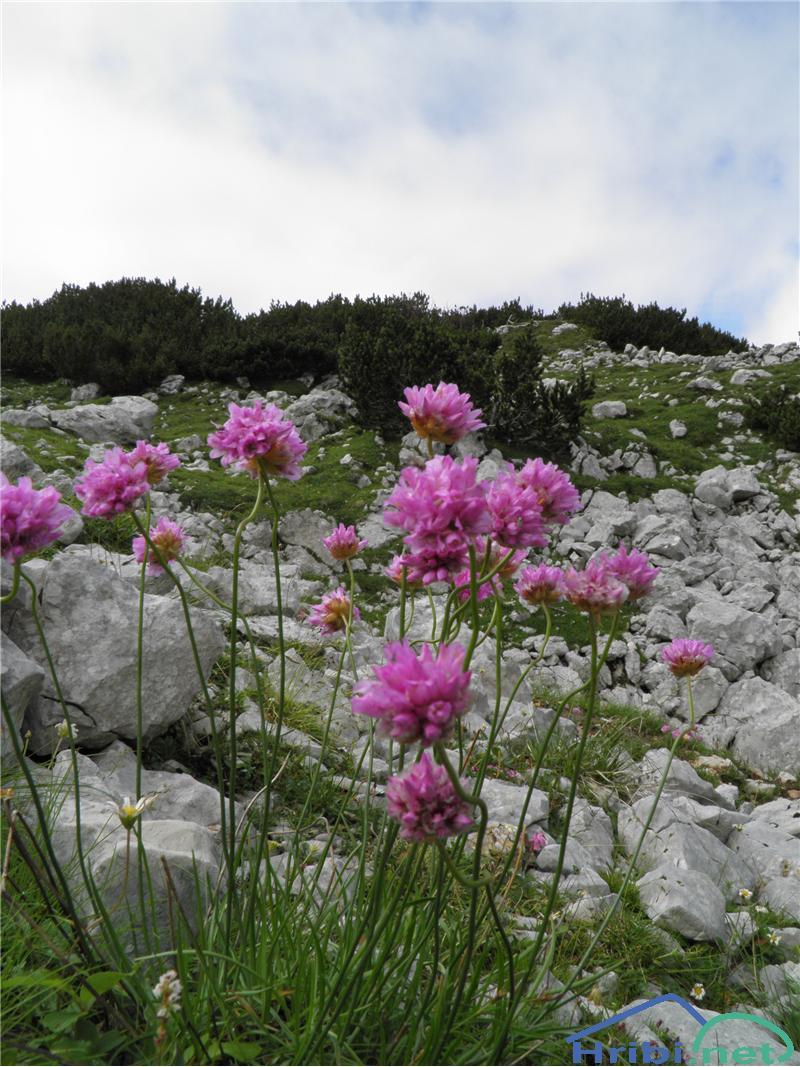 Alpski pečnik (Armeria alpina) - SlikaAlpski pečnik (Armeria alpina), foto Otiv.